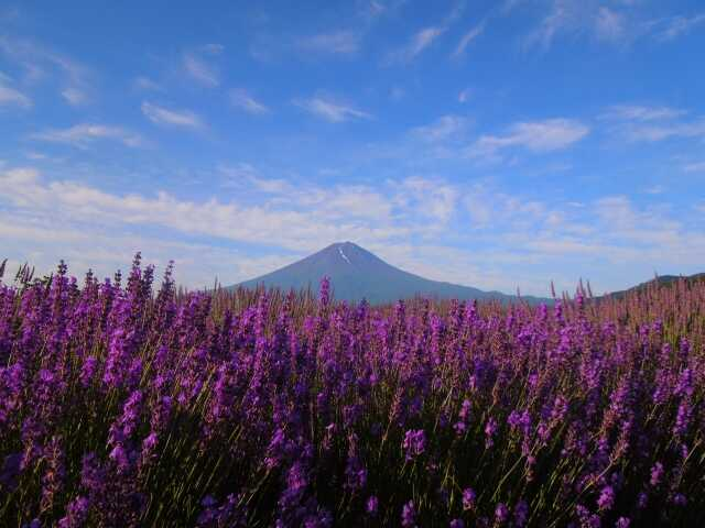 pemandangan indah Fuji dan Lavender