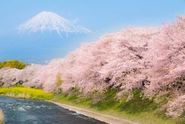 Pemandangan indah Sakura dan Fuji