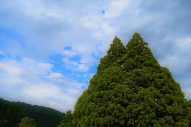 pohon totoro