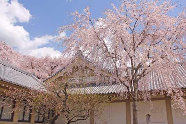wisata di Kyoto sakura di Daigoji