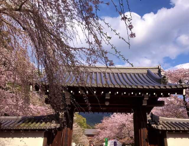 wisata di Kyoto sakura daogoji