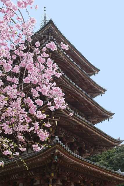 wisata di Kyoto Daigoji sakura